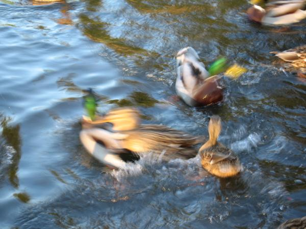 Canards en mouvement…